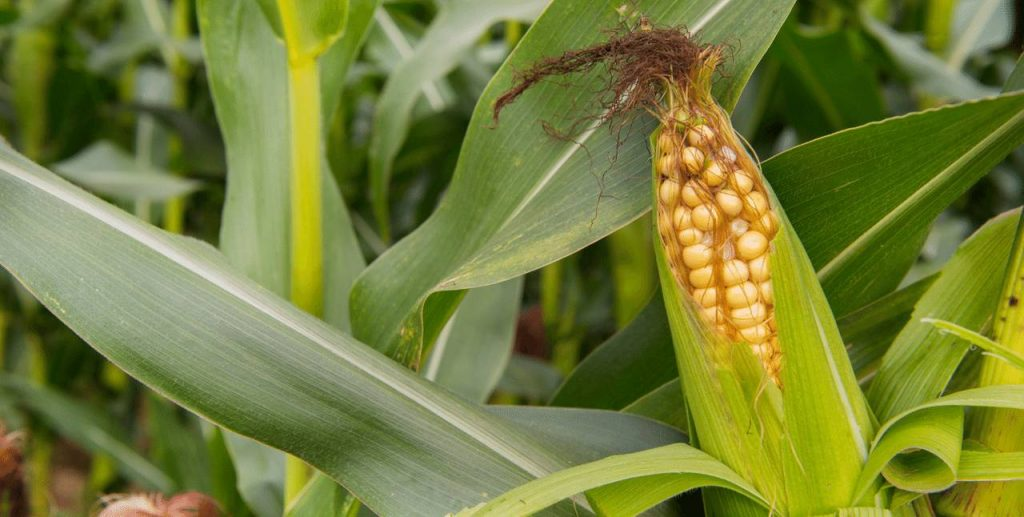 Agricultural Product - Maize