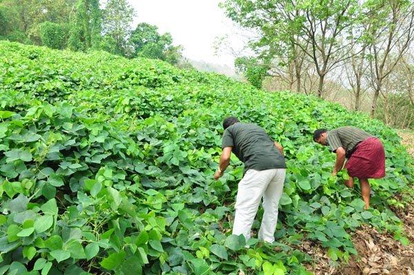 Cover crop of Mucuna bracteata prevents soil erosion