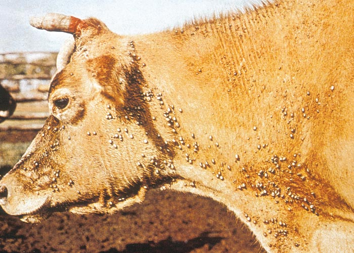 ticks and cattle