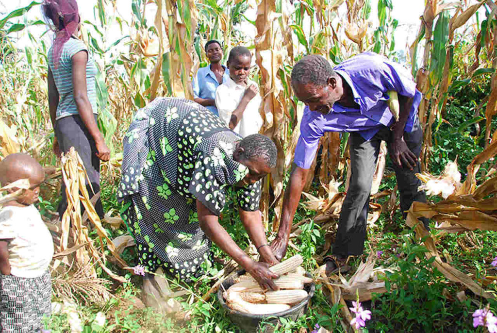 Family in Mayuge harversting maize Easy Resize.com